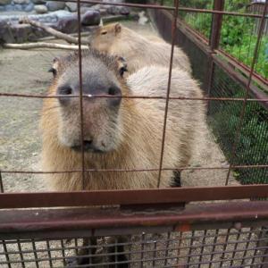 とべ動物園カピバラがカメラ目線