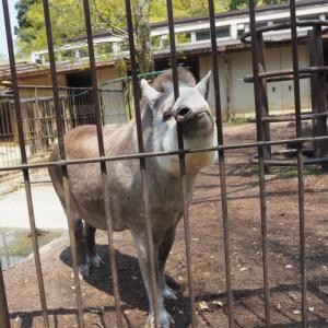 とべ動物園アメリカバクの鼻だし