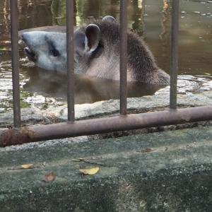 とべ動物園アメリカバクが露天風呂