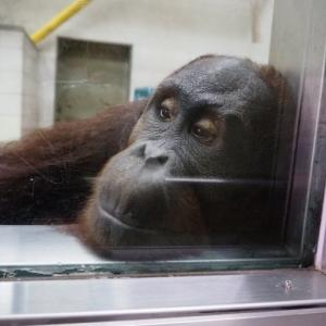 とべ動物園オランウータンのハヤト君の変顔