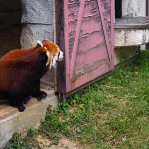 とべ動物園レッサーパンダ同居中