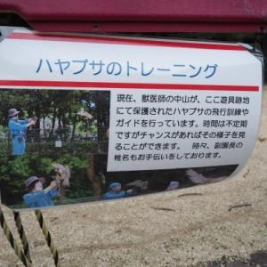 とべ動物園ハヤブサのトレーニング