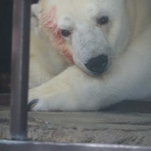 とべ動物園ホッキョクグマピースの顔が赤いんですけど