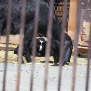 とべ動物園ミミナガヤギの赤ちゃん