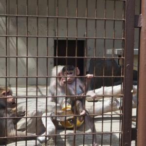 とべ動物園マントヒヒのふくちゃんは