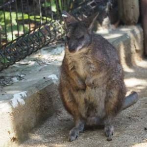 とべ動物園悪顔パルマワラビーのシキ君