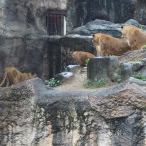 とべ動物園帰れないライオン