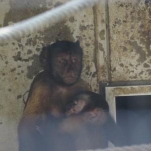 とべ動物園フサオマキザルのエダマメ