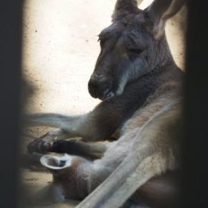 とべ動物園アカカンガルーの子供は袋の中