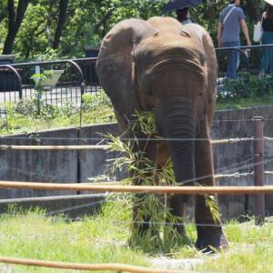 とべ動物園アフリカゾウが草食べてる