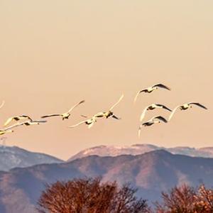 木曽川の白鳥