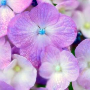 紫陽花ハイキー調