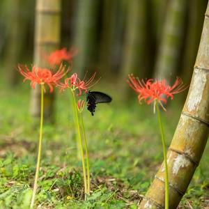 彼岸花とクロアゲハ