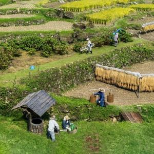 四谷千枚田の稲刈り風景