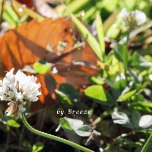 季節外なのにロツメクサの花が・・・