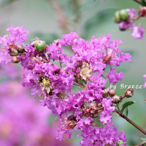 サルスベリの花とアジサイの花・・・