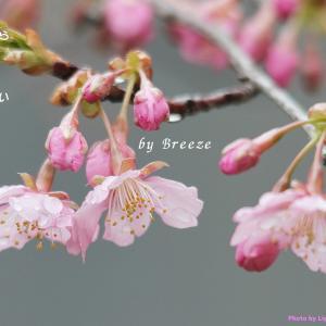 夢の中で雨に濡れる桜が・・・