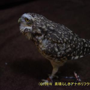 新着フォト(たれ目猛禽)