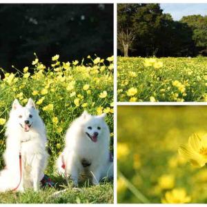 犬連れて 昭和記念公園 キバナコスモス