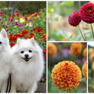 犬連れて 両神山麓 花の郷 ダリア園 小鹿野