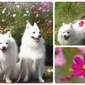 犬連れて 元荒川河川敷公園 コスモス 曼珠沙華
