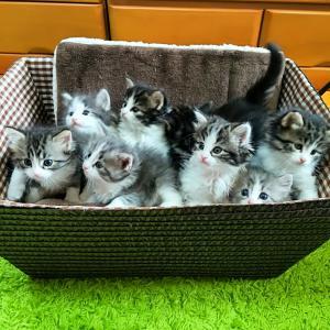 子猫8匹がわらわらわらわら…
