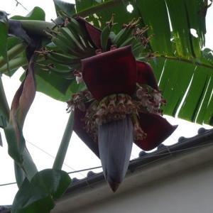 バナナ成長日記(3)