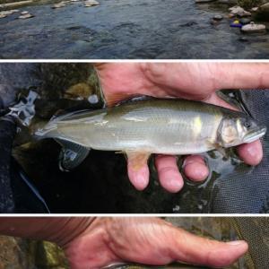 付知川での終盤の鮎釣り今期と昨年を比較