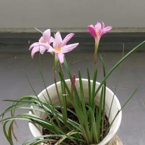 サフランモドキの花