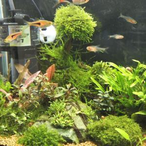 日本庭園(苔庭)風な水景(30センチ水槽②)