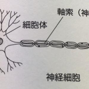 今日も神経細胞!