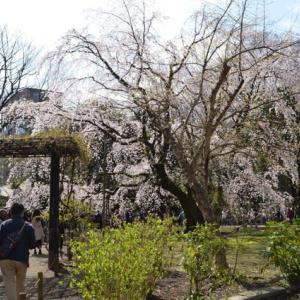 樹齢約60年、高さ15m、幅が20mの「六義園しだれ桜」満開です