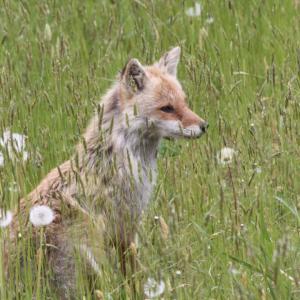 悲しい狐の嫁入り