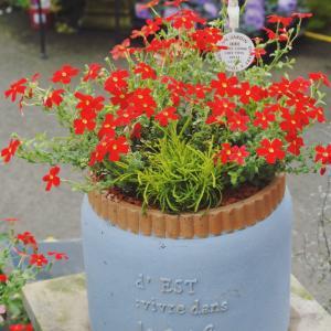 本日の寄せ植え サンブリテニアスカーレット サントリナ