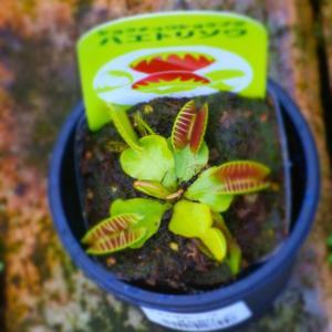 食虫植物 ハエトリソウ