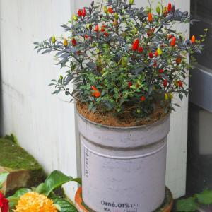本日の寄せ植え 観賞用トウガラシミッドナイトファイヤー、ソフィラリトルベイビー