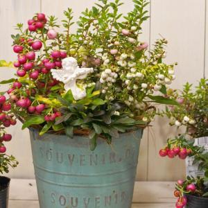 寄せ植え ハッピーベリー 3色植え