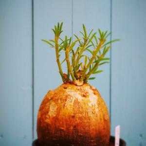 塊根植物 パキポディウム サキュレンタム
