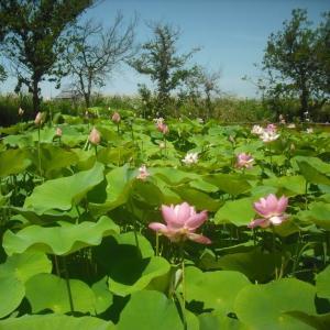 日ハムの 花は開かず ハスの花(24日)・・対楽天戦