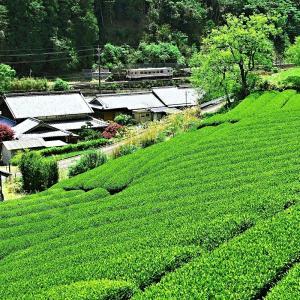 名松線 茶畑にて