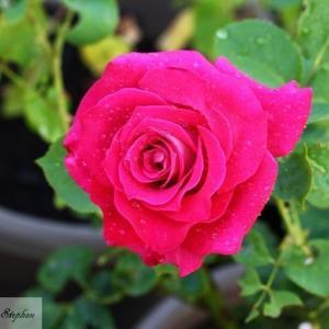 2019年開花42-44番目の薔薇(モニカ・ベルッチ、ジャルダン・ドゥ・バガテル、スヴゥニール・ドゥ・バデンバデン)