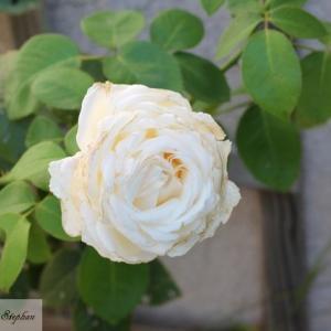 2019年開花45番目の薔薇(ピエール・アルディティ)