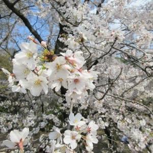 2020年、藤が丘お花見ドライブと古戦場公園の桜。
