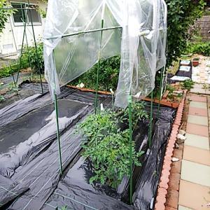 トマト畝にビニールの屋根をつける