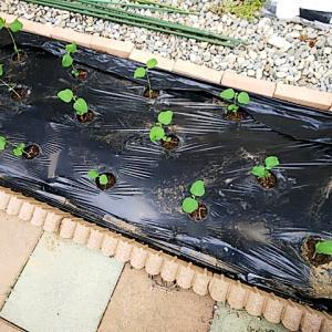 枝豆の定植