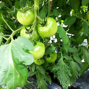 収穫が始まったトマトの様子
