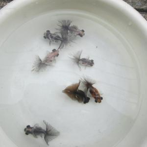 水槽飼育の蝶尾たち。。。