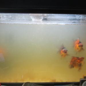 リビング金魚たち。。。