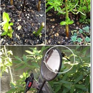 【ガーデニング】アジサイの挿し木とリースハンギングその後…そしてトマトの収穫!