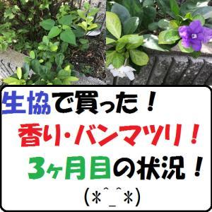 【園芸】生協で買った 香り・バンマツリ!3ヶ月目の状況!(*^_^*)